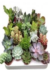 Kaktüs ve Succulent