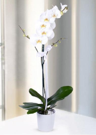 (mr200) Tek Dal Orkide